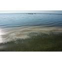 Tre år mellan stora algblomningar – forskarna undrar varför
