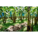 Bildberättelser – Rainforest Alliance och bananodlingar