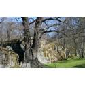 Prins Eugens ek och andra träd