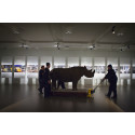 Noshörningsflytt på Malmö Museer