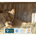 The rescue of the Gyumri Zoo lions in Armenia
