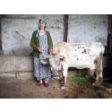Stadsnära boskap hot mot kvinnors hälsa i Centralasien