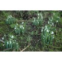 Snowdrops in Bloom Across Scotland