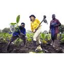 Hanna och Cecilia följde med och planterade bananträd i Malawi.