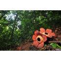 Borneos Regnskog