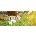 Ökad mjölkproduktion med D-klassade Vigilant
