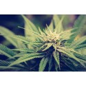 Seminarium: Legalisering av cannabis?