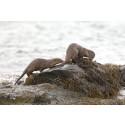 Fluorstoffer funnet i oter, isbjørn, ulv og snø
