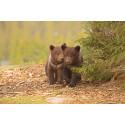 På lördag är det dags för årets björnsläpp