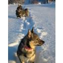 Hundar i snölandskap