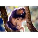 Träffa världens sötaste primater – guldaporna