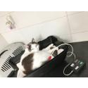 En enkel undersøgelse viser om katten har højt blodtryk
