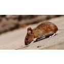 Råttproblemet växer – slå tillbaka utan gift