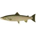 Stopp för laxfiske till havs