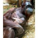 Orangutangfödsel på Borås Djurpark