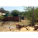 Utbredd antibiotikaresistens på stadsnära grisgårdar i Kambodja