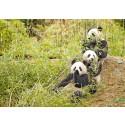 Pandareservat i icke-traditionella livsmiljöer kan underlätta bevarandet
