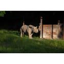 DHL levererar spetsnoshörningen Eliska till Afrika