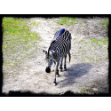 Borås Djurpark Zebra