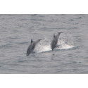 MARINElife launch campaign for Bottlenose dolphins and globally endangered Balearic Shearwaters