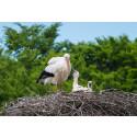 Kärleksdrama när storken kom till Skånes Djurpark