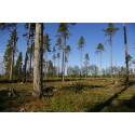 FSC bidrar till biologisk mångfald i Estlands skogar