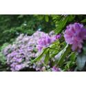 Rhododendron i full prakt