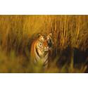 WWF välkomnar att Kambodja vill sätta ut tigrar