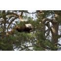 Borås Djurpark har fått en ny Röd panda