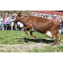 Kuslipp for 40 våryre melkekyr