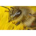 Bienen - Die Bestäuber der Welt