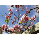 Nu blommar vår magnolia