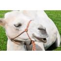 Den vita kamelen Herman charmade Stora Nolia-publiken.