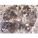 Fossil rödalg i genomskärning