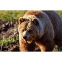 Inventera björnar i Dalarna tillsammans med Länsstyrelsen