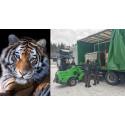 Starkt utrotningshotade tigrar till Kolmården