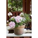 Pelargonium ´Picotee Pink´ med liv i blomman