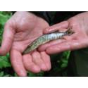 Mindre kvikksølv i ferskvannsfisk