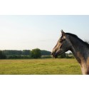 Svenskfödda hästar sätts i fokus på Euro Horse