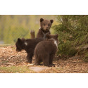 Följ med på guidad tur med tema vårkänslor – Tid för brunst och parning i Orsa Rovdjurspark