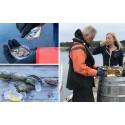 Vildfångade ostron från Grebbestad  – ett sant hantverk