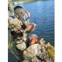 Musslor kan rena Östersjön och skapa nya arbetstillfällen