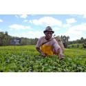 IKEA Foundation och Rainforest Alliance hjälper kenyanska teodlare ställa om till förnybar energi
