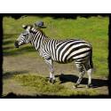 Borås Djurpark en Zebra på Savannen
