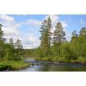 Samspelet mellan skog och vattendrag viktigt när natur restaureras