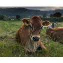 Antalet ekologiska mjölkkor har ökat med 8 procent