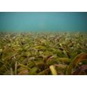 Sjögräsängar på västkusten är ovanligt bra på att lagra koldioxid