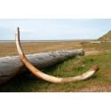 Inbreeding in the woolly mammoth weakened its immune system