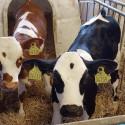 Korsningen som gör att bönder kan fortsätta mjölka