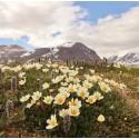 Liten fluga avslöjad som Arktis superpollinatör